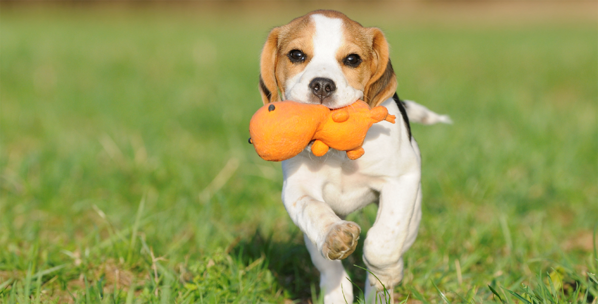 dog running with crewy toy in mouth